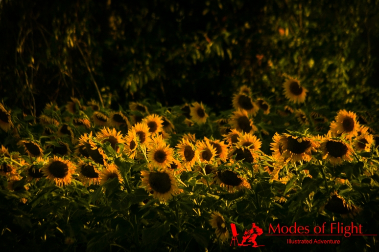 sunflowers colour landscape photography North Carolina